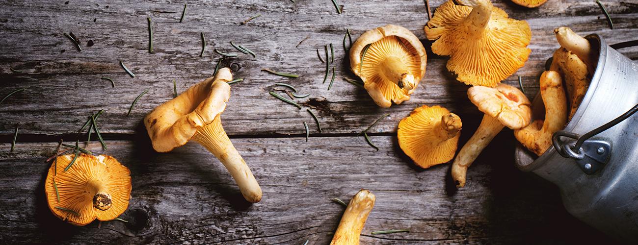 Kantareller – allt du behöver veta om skogens guld