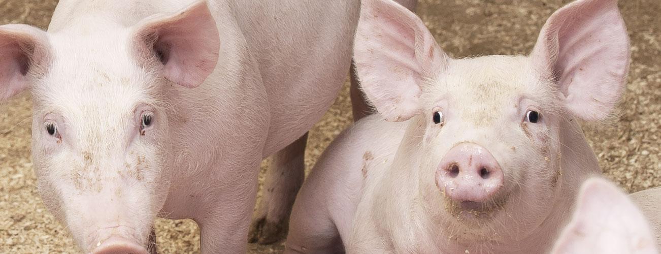 Lantgris – världens mest finländska gris