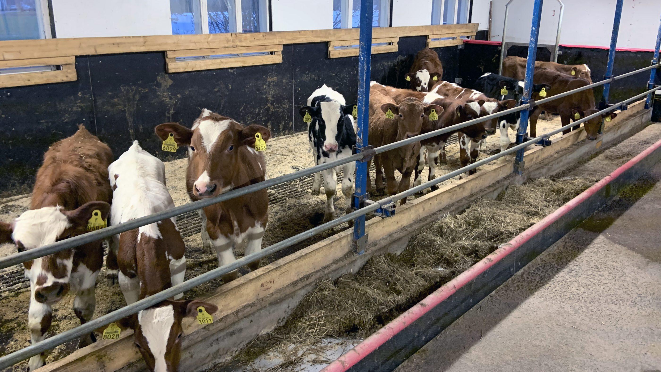 Lehmiä Kolpissa